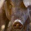 El despiece del cerdo